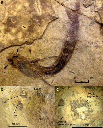 acanthodes bridgei fossil