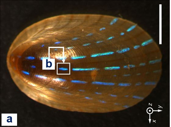 Blue rayed limpet shell