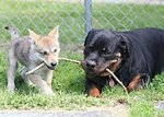 Dog and wolf cub