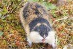 Norway Lemming