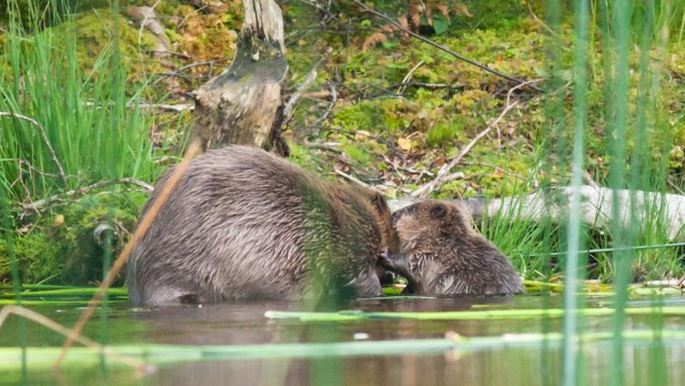 Beaver mother and kit