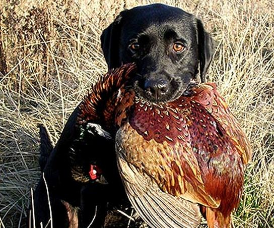 Dog with pheasant