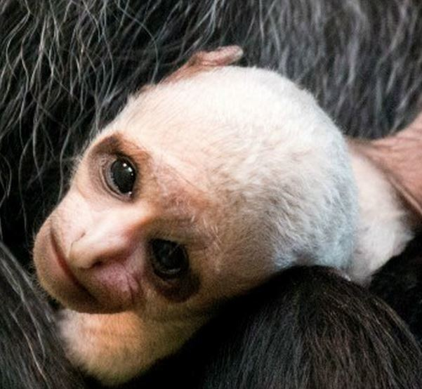 King Colobus Infant