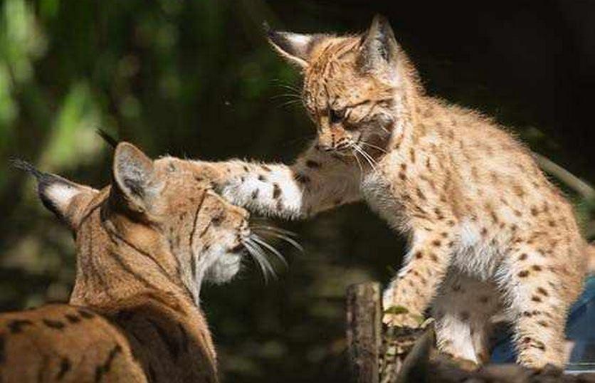 Lynx with kitten