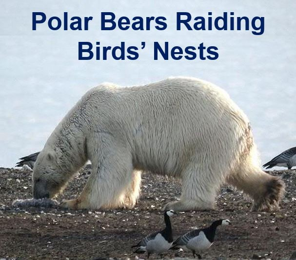 Polar bears raiding birds nests