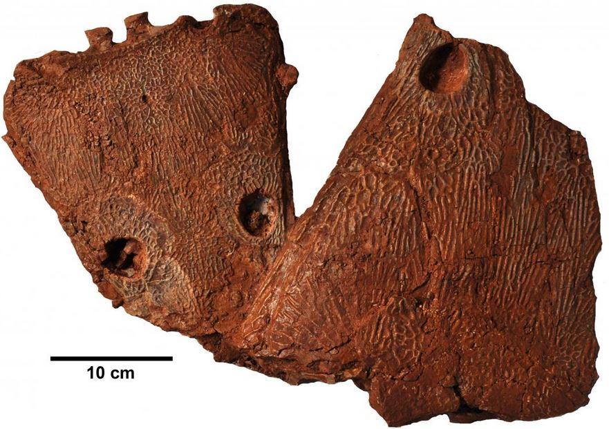 Skull of amphibian fossil