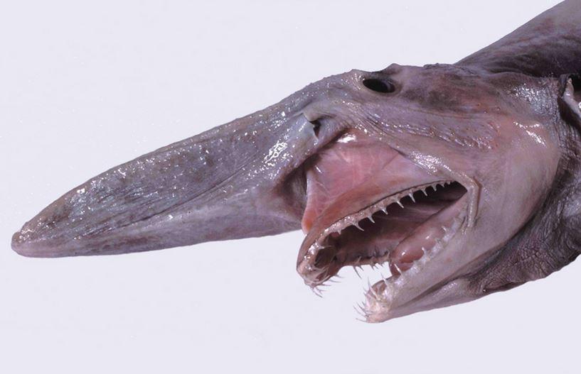 head of goblin shark