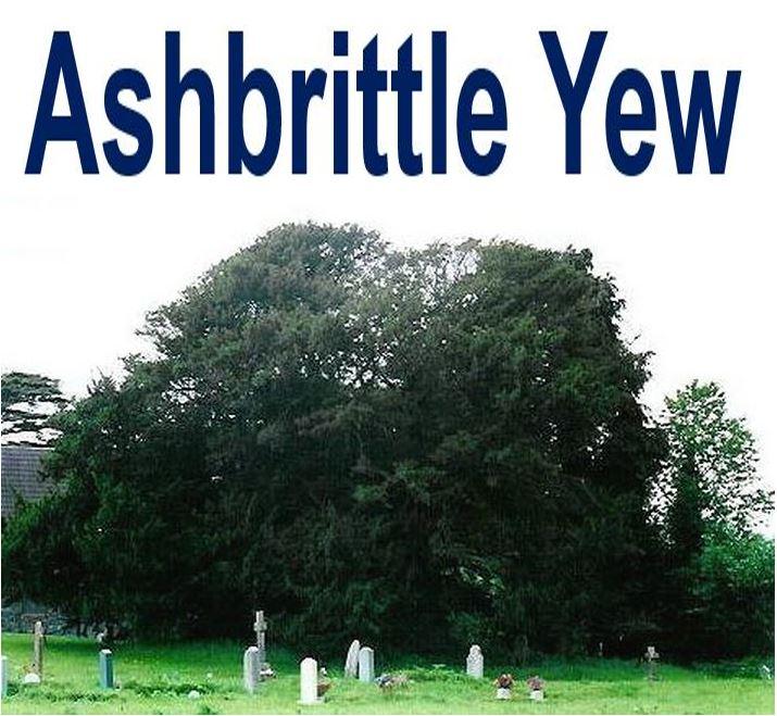 Ashbrittle Yew