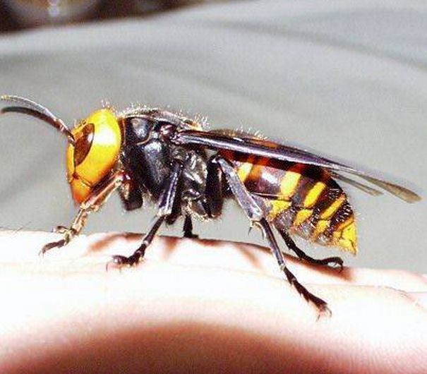 Asian Giant Hornet on human finger