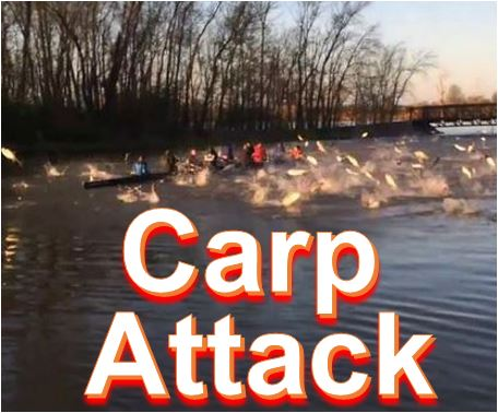 Carp attacked in river