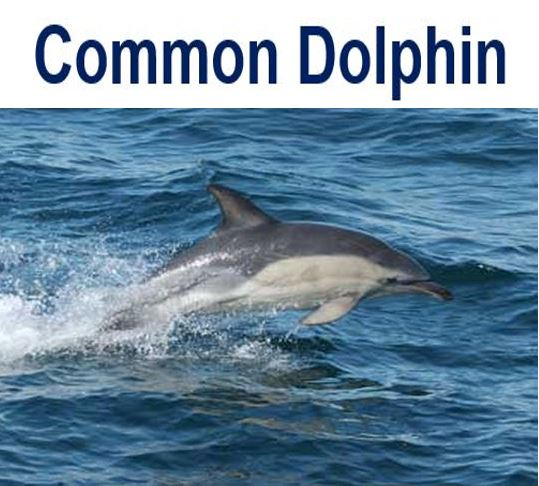 Common Dolphin in water