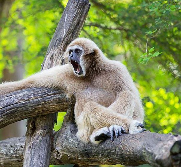 Lar Gibbon hoo