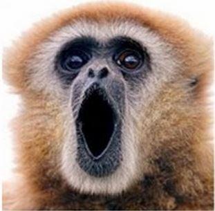 Lar gibbon speaking