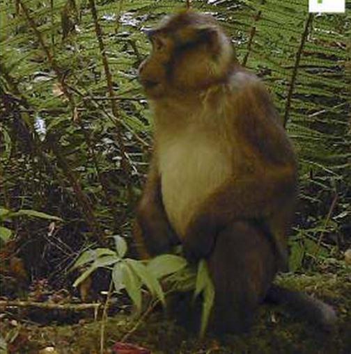 New macaque species