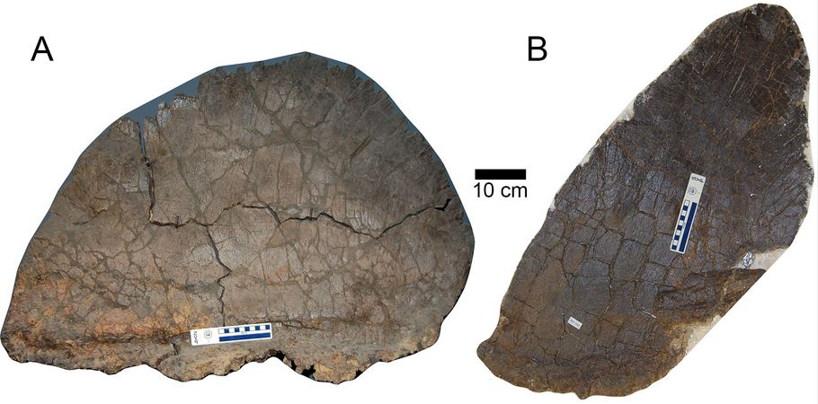 Stegoraurus plates
