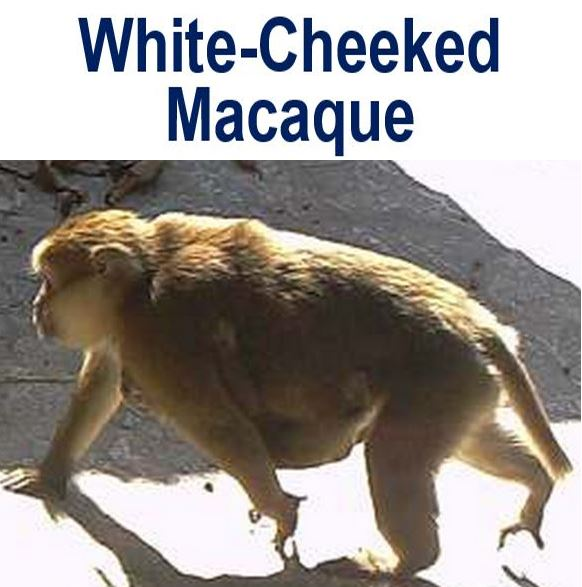 White Cheeked Macaque photo
