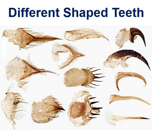 Different shaped teeth