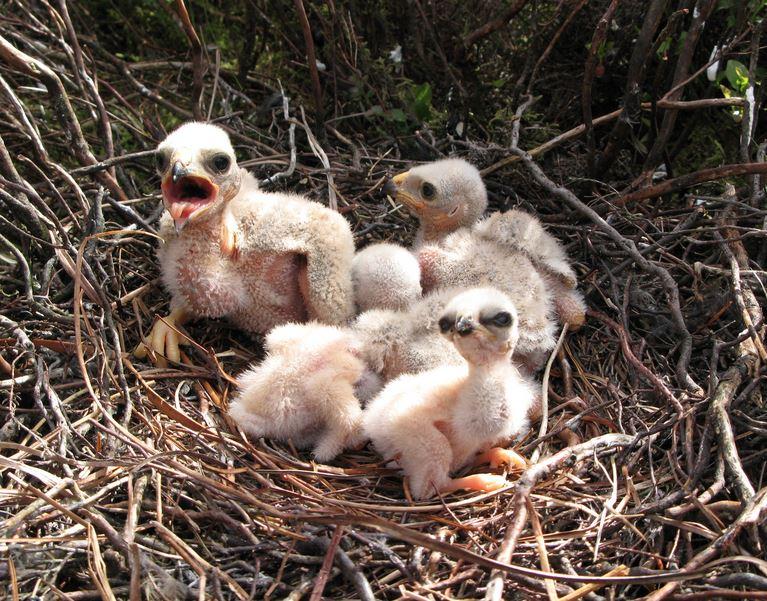 Hen harrier chicks in a nest