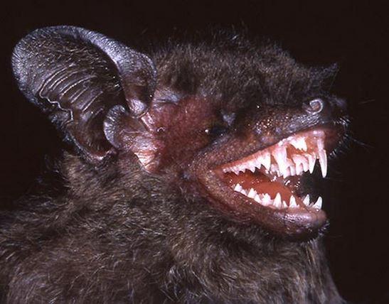 Long fanged bat