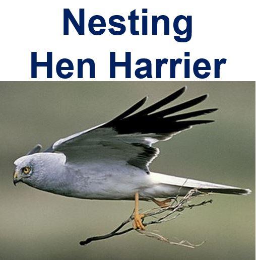 Nesting Hen Harrier