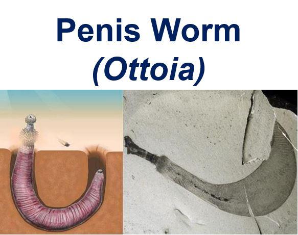 Penis Worm ottoia