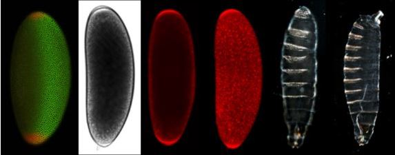 Fruit fly embryo