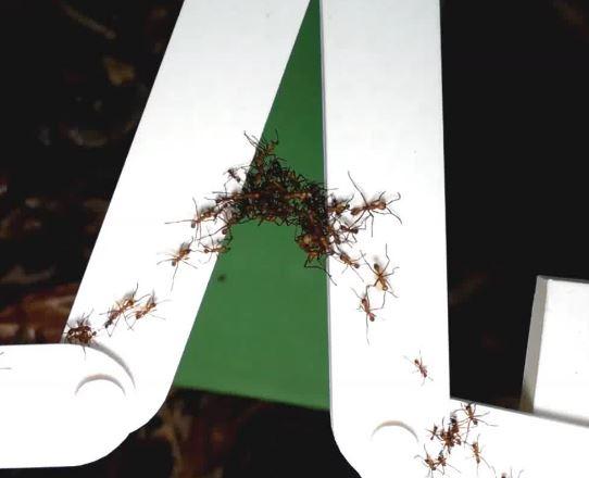 Army ants creating a bridge