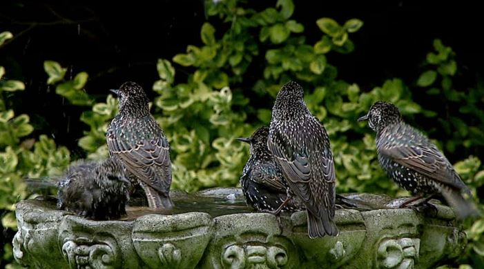 Bird bath starlings