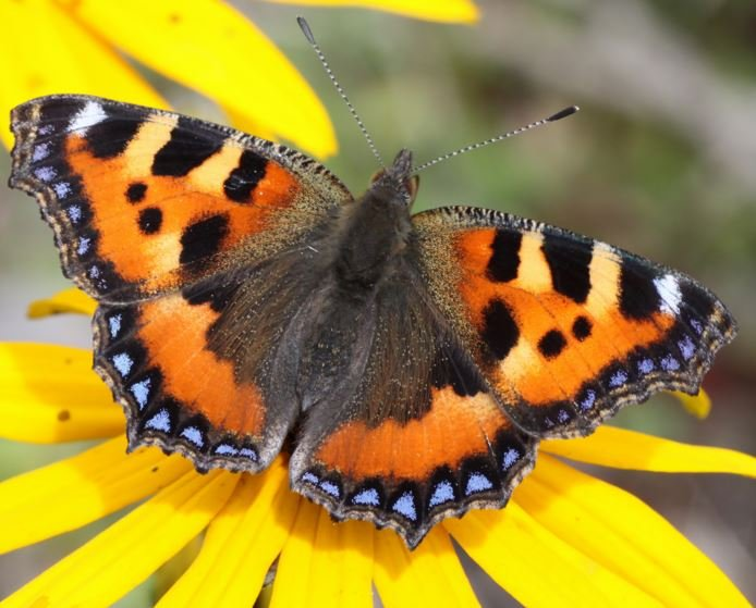 British butterfly population