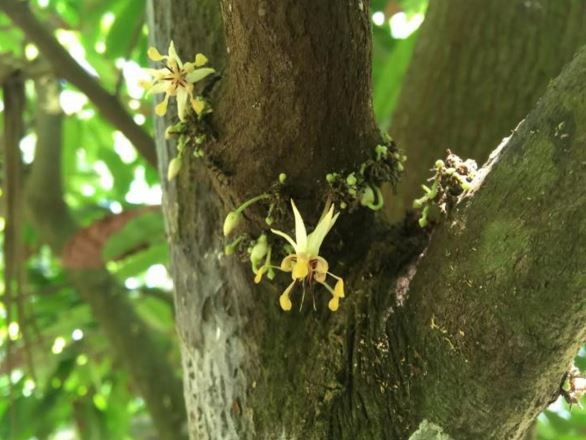 Cacao tree flowers