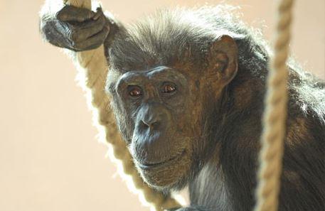 Chimpanzee Edinburgh Zoo