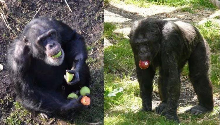 Chimps Scottish acccent