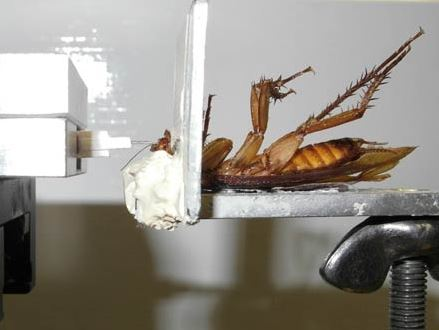 Cockroach experiment