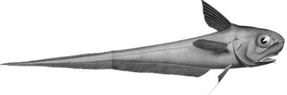 Coryphaenoides rupestris