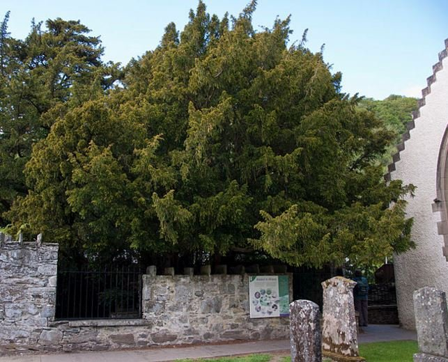 Fortingall Yew in Perthshire