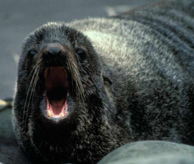 Fur seal bite can be extremely dangerous