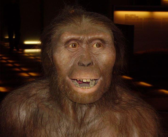 Lucy the Australopithecus afarensis