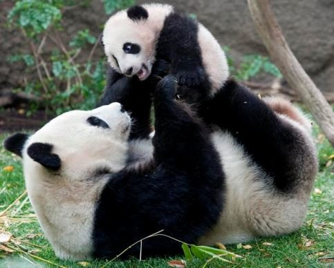 Panda cub with mother