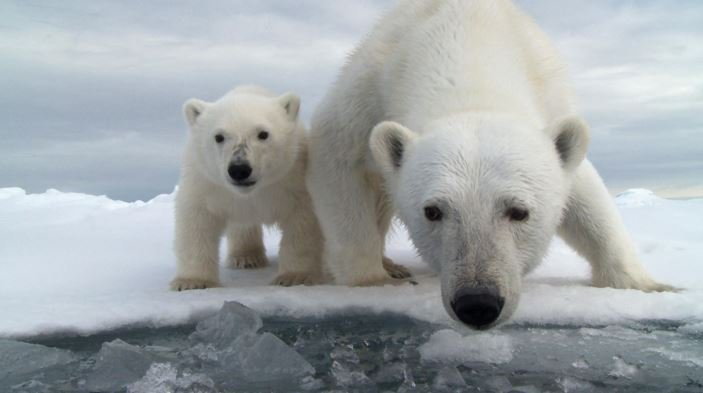 Polar bear population threatened
