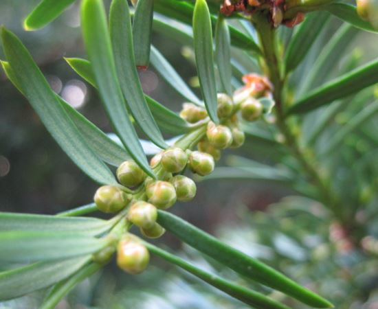 male yew cones