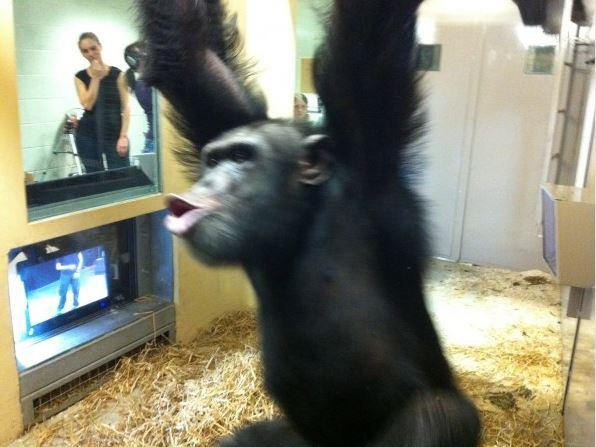 Chimp watching tv