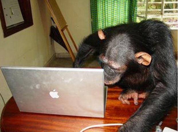 Chimpanzee video conferencing