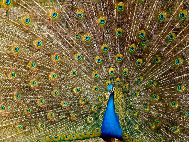 Indian peafowl or peacock