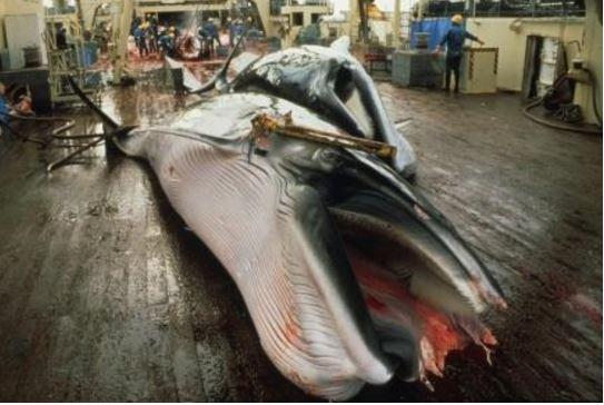 Japan fishermen killed minke whale