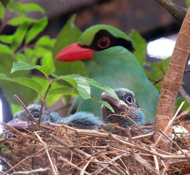 Rare Javan Green Magpie At Chester Zoo In Extinction