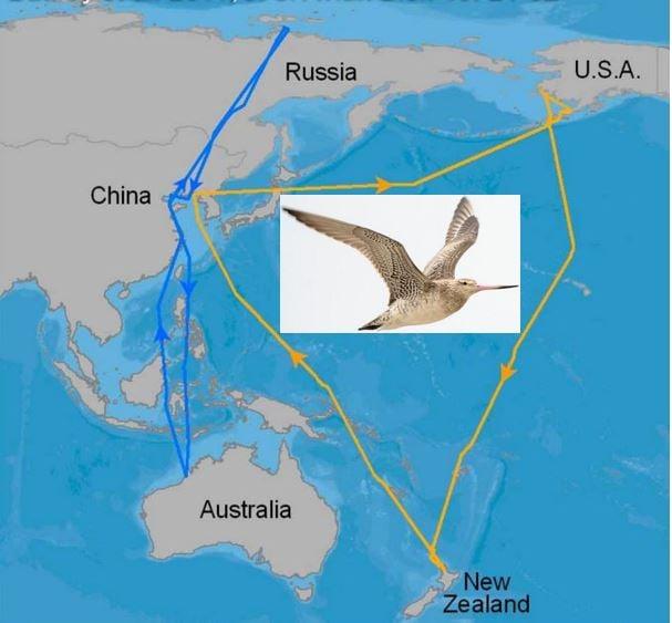 Migratory Birds Bar Tailed Godwit