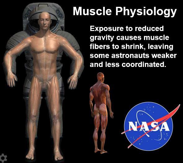 Moss of muscle mass of astronauts