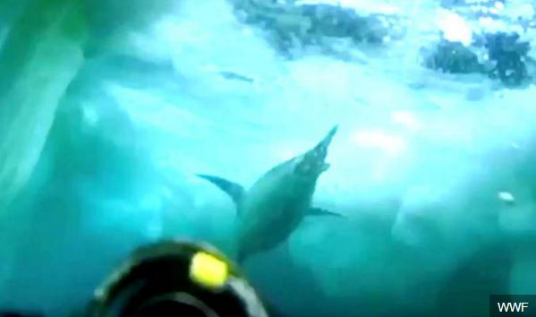 Penguins surfacing for air