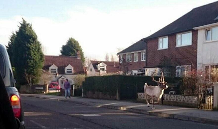 Reindeer runs off from Tesco supermarket car park