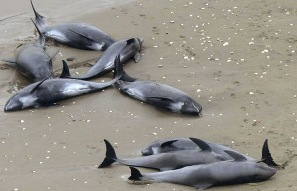 Stranded dolphins